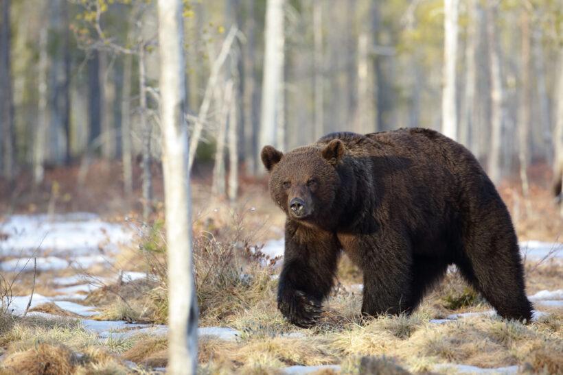 Hình ảnh con gấu hình nền gấu đen