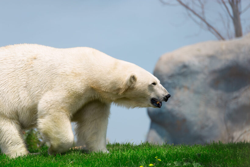 Hình ảnh con gấu hình nền gấu màu trắng