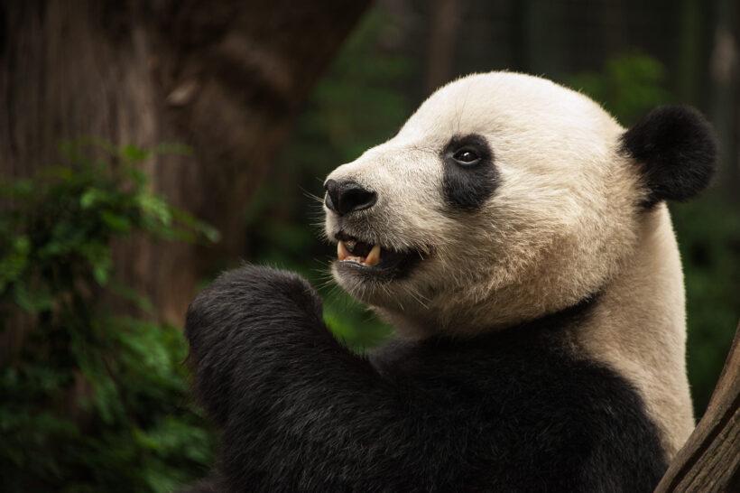 Hình ảnh con gấu hình nền gấu Panda