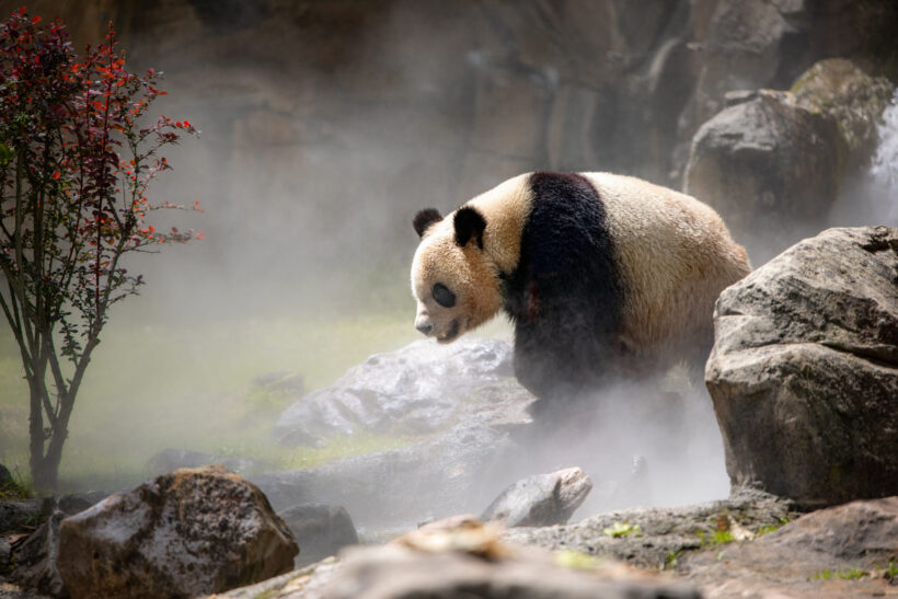 Hình ảnh con gấu hình nền gấu trúc