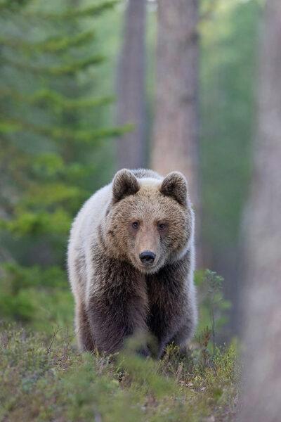 Hình ảnh con gấu hình nền gấu xám