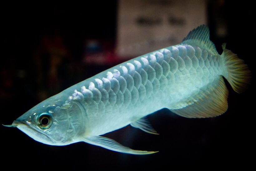 Cá Rồng bạch kim đẹp