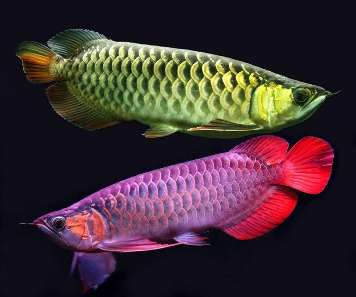 Cá Rồng đẹp nhất Việt Nam