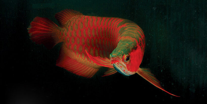 Cá rồng đỏ ấn tượng