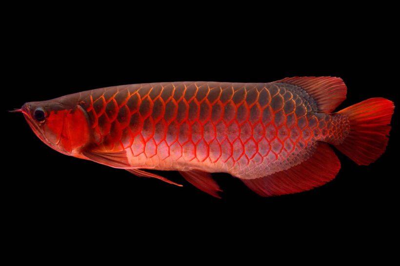 Cá rồng đỏ đẹp nhất