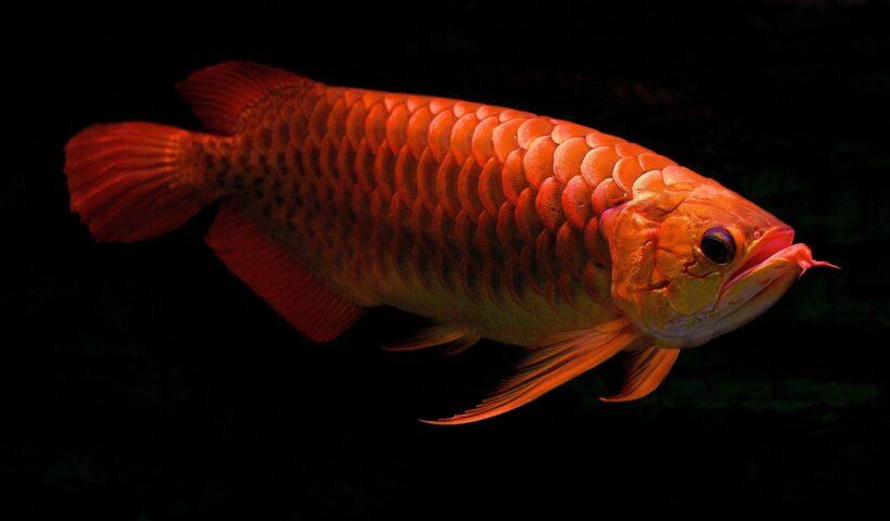 hình ảnh Cá Rồng chất lượng
