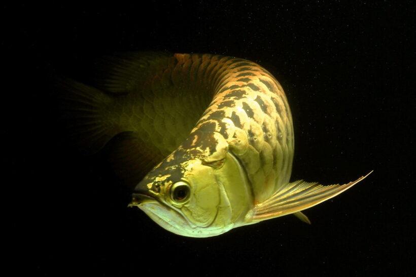 Hình ảnh Cá Rồng màu vàng