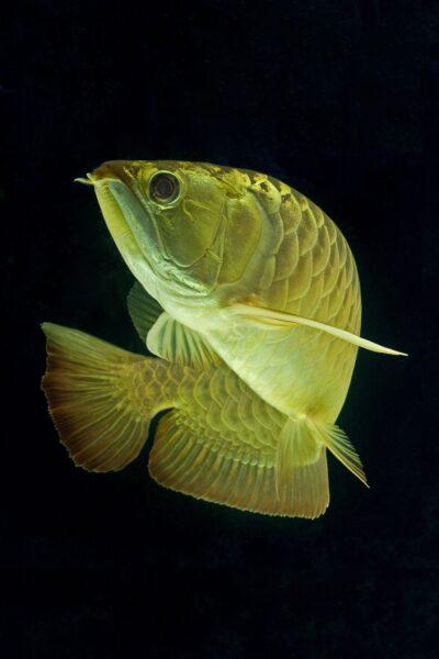 hình ảnh cá Rồng vàng đẹp nhất