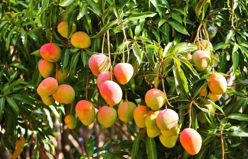 hình ảnh cây xoài đẹp