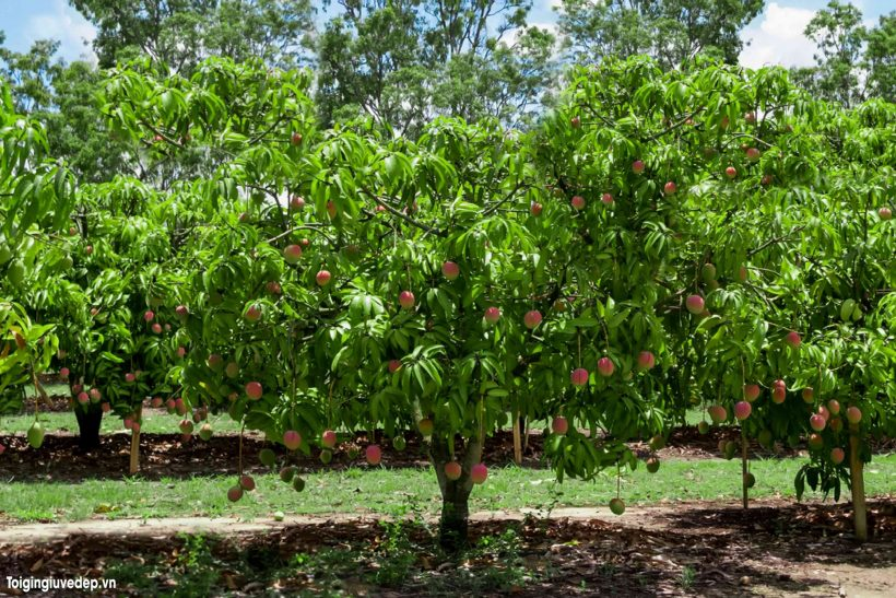 Hình ảnh cây xoài đẹp, trĩu quả và ấn tượng nhất