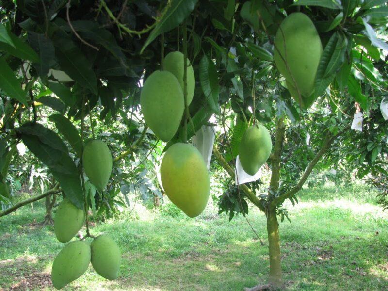 hình ảnh cây xoài trĩu trái