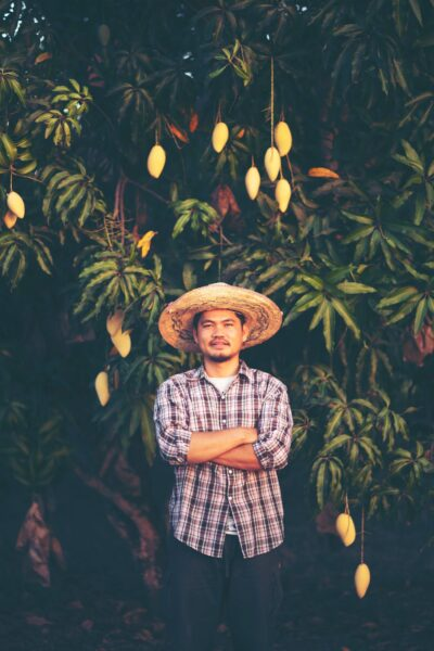 hình ảnh cây xoài và người nông dân