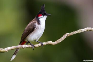 Hình ảnh chim chào mào đẹp, hót hay và thu hút nhất