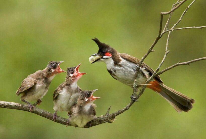 hình ảnh chim chào mào mẹ cho con ăn
