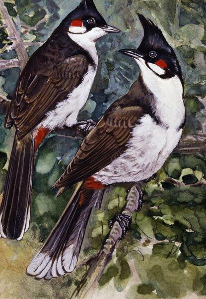 hình ảnh chim chào mào tranh