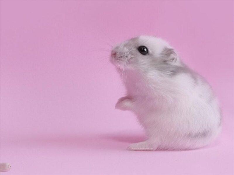 hình ảnh chuột Hamster cute
