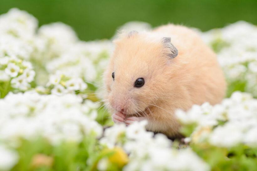 hình ảnh chuột Hamster dễ thương