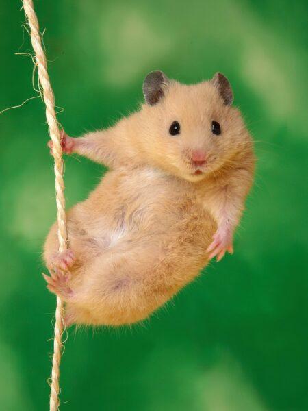 hình ảnh chuột Hamster dễ thương độc đáo