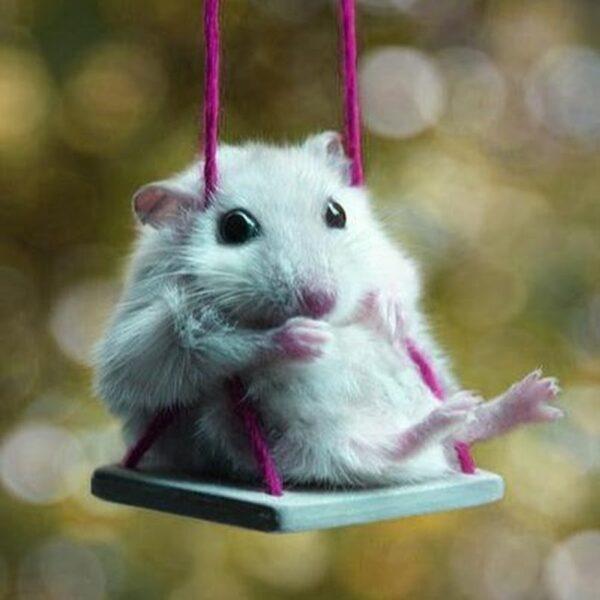 hình ảnh chuột Hamster hài hước, cute