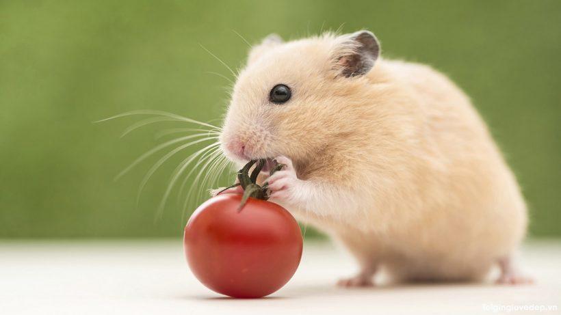 Hình ảnh chuột Hamster nhỏ nhắn, xinh xắn và đáng yêu nhất