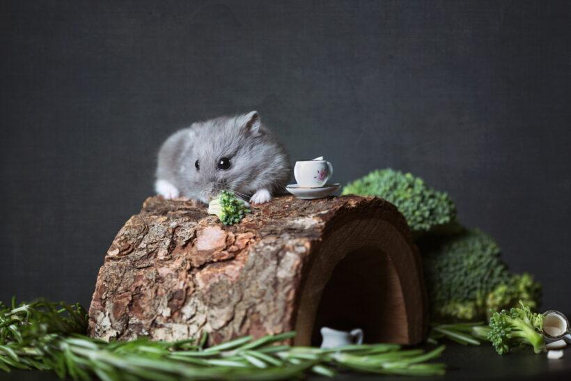 hình ảnh chuột Hamster xám chụp nghệ thuật