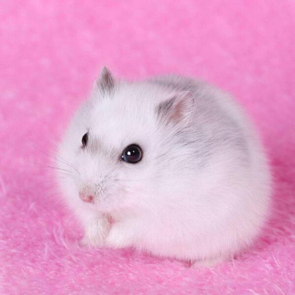 hình ảnh chuột Hamster xinh xắn