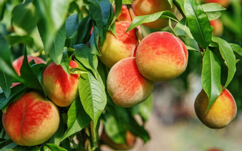 hình ảnh quả đào đẹp trên cây