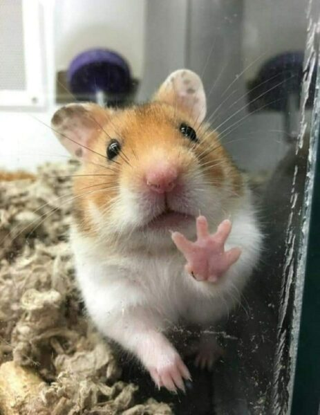 hình chuột Hamster hài