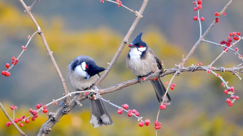 hình nền chim chào mào đẹp nhất